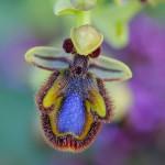 Orquídea abeja espejo