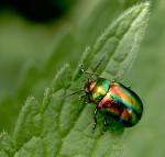 Escarabajo arcoiris