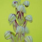 Orquídea del ahorcado