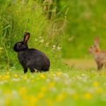 Conejo melánico