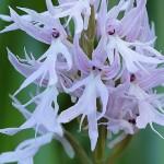 Orquídea del hombre desnudo