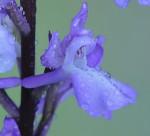 Orquídea de labelo reticulado