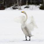 Cisne cantor