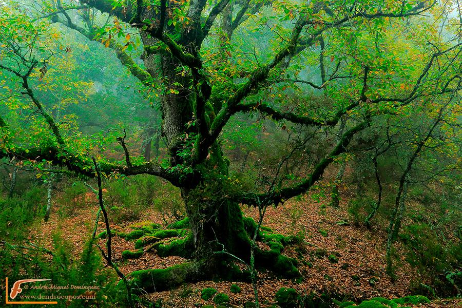 Old gall oak