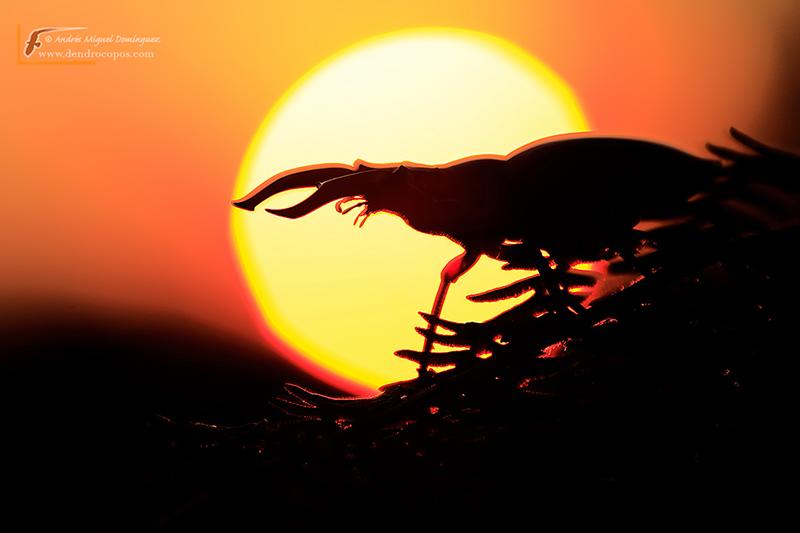 Stag beetle (Lucanus cervus)