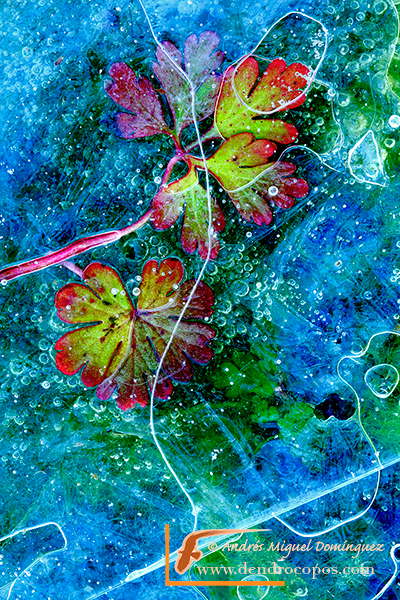 Geranium molle under ice, Grazalema (Spain)
