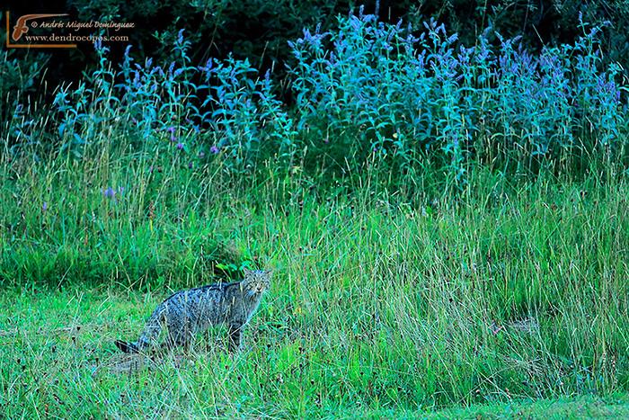 Gato montés (Felis silvestris)