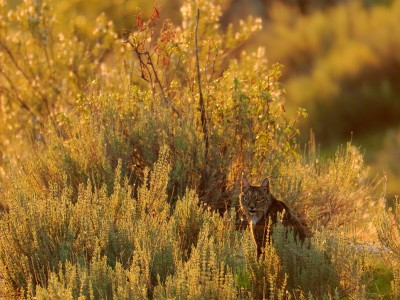 Lince ibérico – Iberian lynx